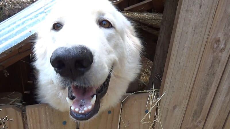 Ada's Heritage Farm Dog