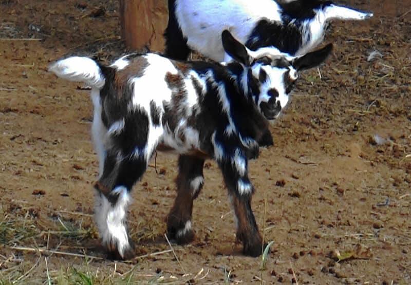 Ada's Heritage Farm Baby Goat