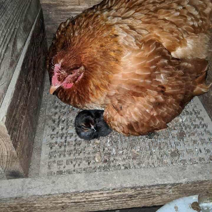 Bad Back Acres Hen and Chick