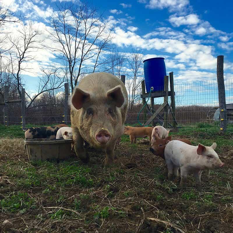 Dayspring Farm & Pig Mountain Pigs