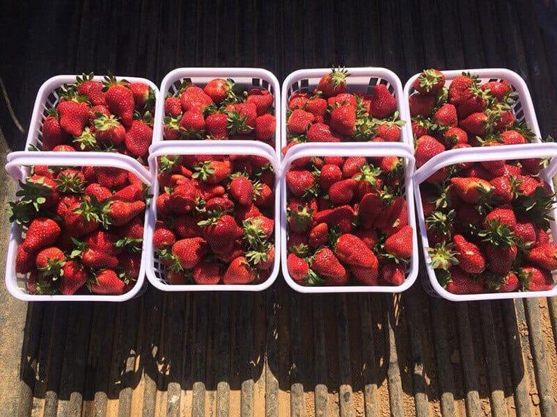 Jones Farm Strawberries
