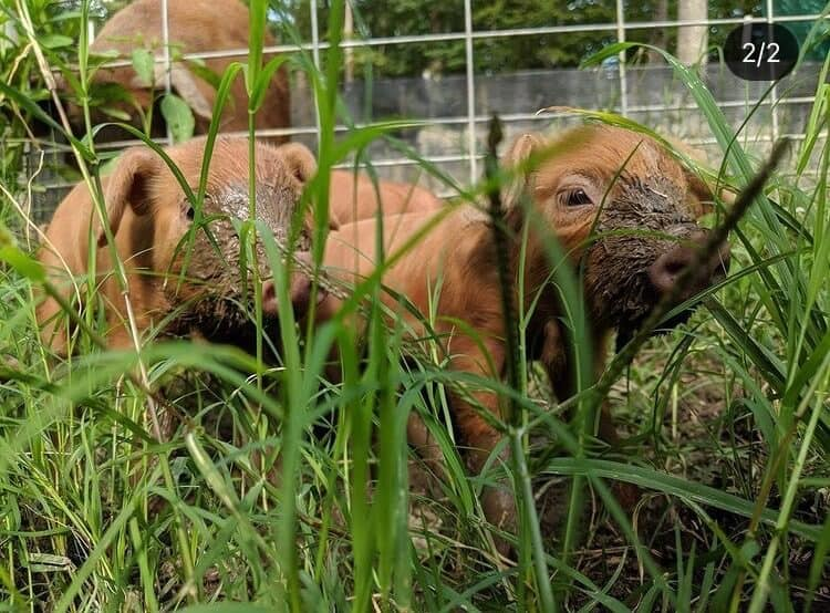 Land to Table piglets in the grass
