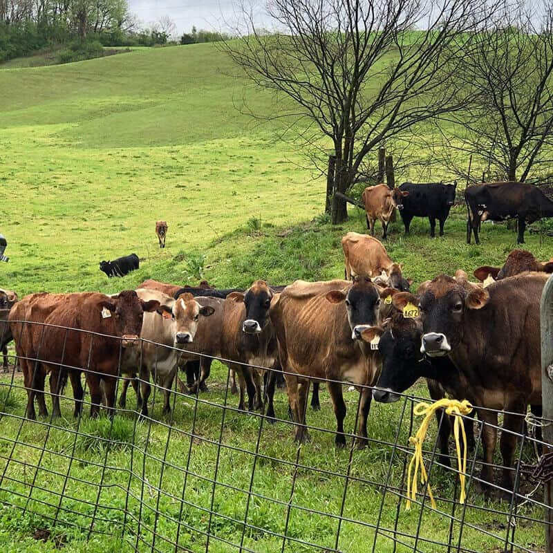 Orchard House Creamery Cows
