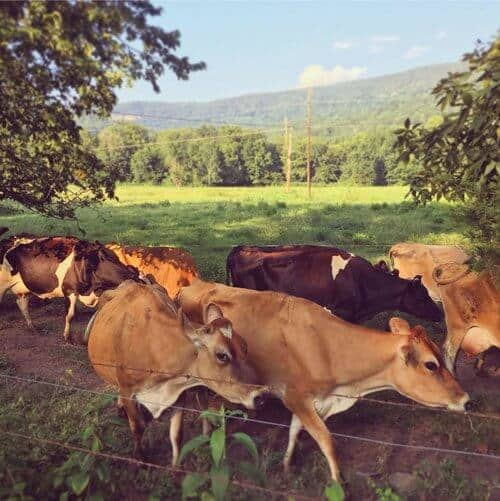 Sequatchie Cove Creamery Cows