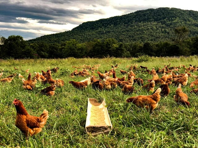 Sequatchie Cove Farm Chickens