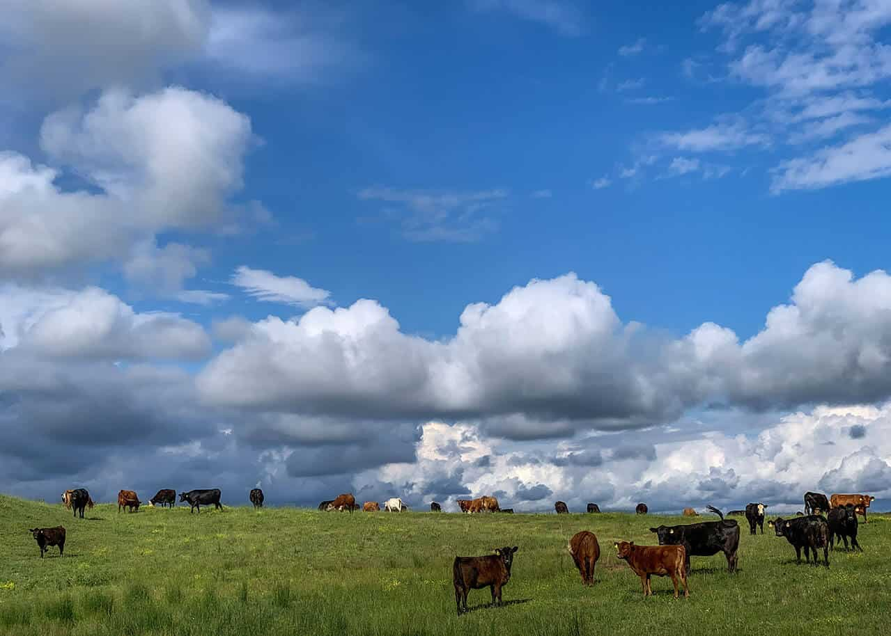 Circle S Farm cows in the field against a blue sky