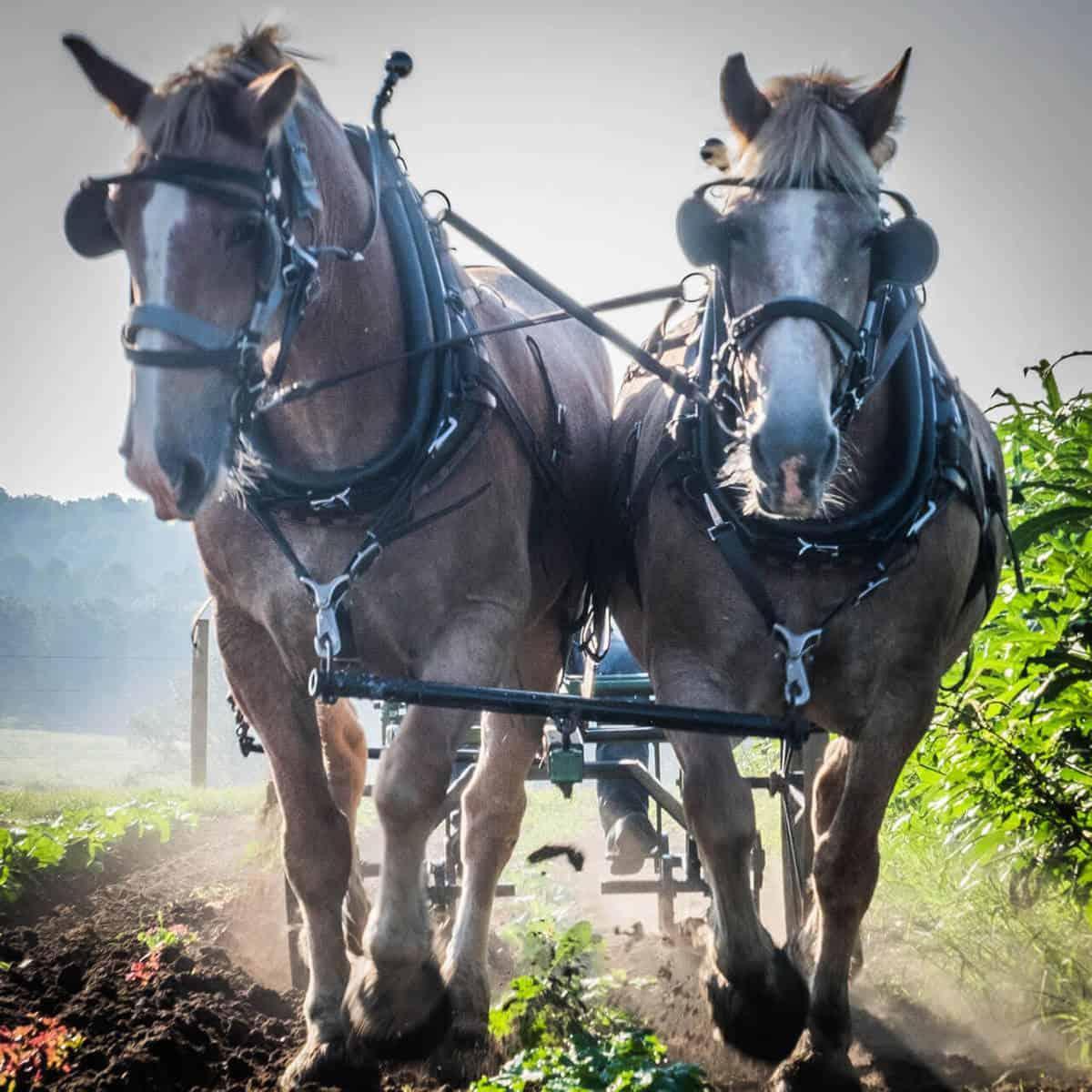 Draft horses pulling a plow