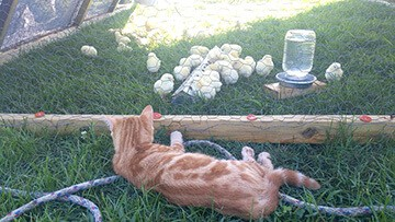 Hoe Hop Valley Farm kitten watching chicks